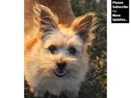 Image Result For Cairn Terrier Nz Norfolk Terrier Border