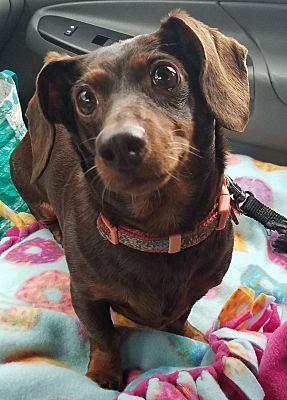 Marietta Ga Dachshund Meet Shelbee A Pet For Adoption Pets