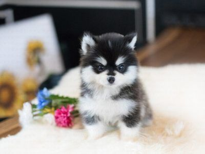 All Puppies For Sale Posh Pocket Pups Pomeranian Puppy Teacup Tiny Puppies Teacup Puppies