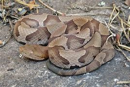 bd7e77ae62fc9b643a85ad73cc9d3444 - How To Get Rid Of Copperhead Snakes In Your Yard