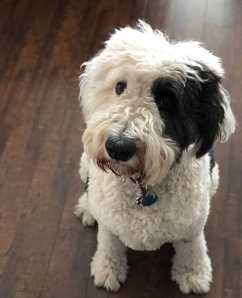 Sheepadoodles Are Calm Tempered Playful And Intelligent But How Much Do You Really Know About Them Read Our Com Sheepadoodle Poodle Mix Old English Sheepdog