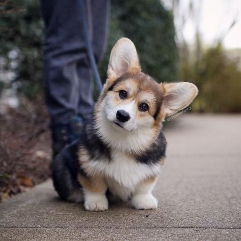 Corgi lovers, Corgi dog lovers, The Welsh Corgi, Pembroke Welsh Corgi
