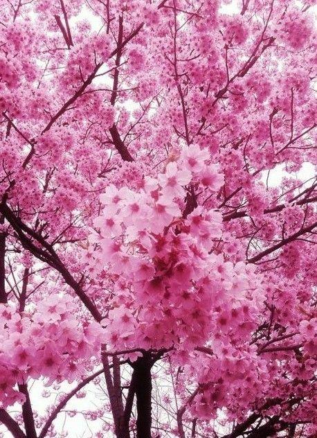 So Very Beautiful Sakura Tree Sakura Cherry Blossom Beautiful Flowers