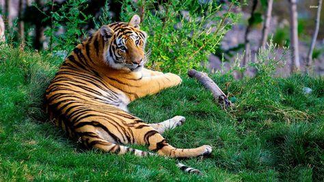 Tiger Wallpaper Id501399 Wallapper Abyss Tigres Tiger