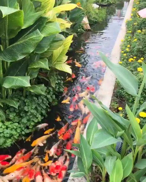 Koi fish in a Japanese Garden #japangarden Koi fish in a Japanese Garden