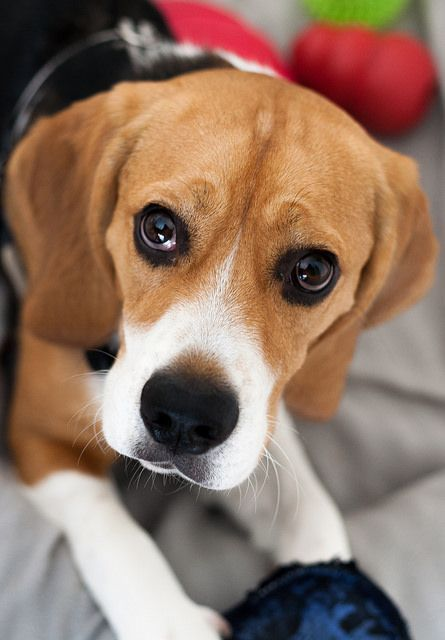 Is Your Beagle Driving You Crazy Dog Secrets The Fastest Way To