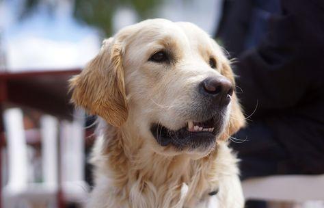 Dog Retriever Golden Retriever Pet Animal Wallpaper Dog