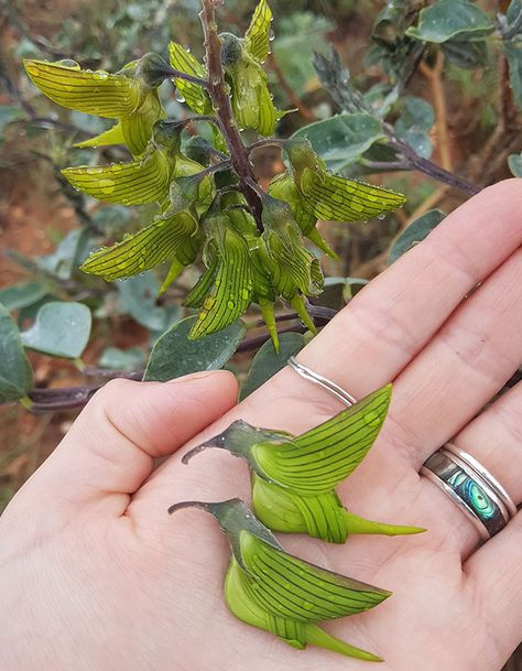 The Green Birdflower Plant, also known as Crotalaria cunninghamii, is a beautiful shrub that produces green flowers that look like hummingbirds. Strange Flowers, Unusual Flowers, Amazing Flowers, Garden Plants, Indoor Plants, House Plants, Nature Plants, Flowers Nature, Unusual Plants