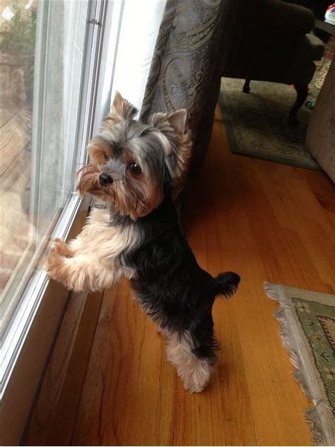 Image Result For Male Yorkie Haircuts Yorkshire Terrier Puppies Terrier Puppies Yorkie Terrier