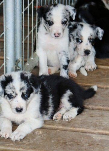 Abca Border Collie Pups Border Collie Puppies Border Collie Boxer Dogs