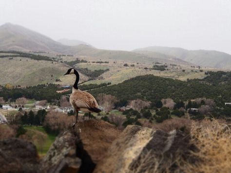 goose on a cliff in pocatello id