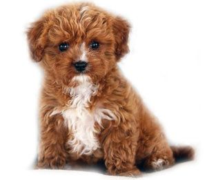 Red White Cavapoo Teddy Bear Dog Cavoodle Dog Cavapoo Puppies
