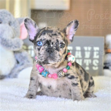 French Bulldog Puppies For Sale in Florida \  AKC French Bulldogs FL