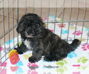 Poodle Toy Zuchon Mix Puppy For Sale In Oro Valley Az Usa
