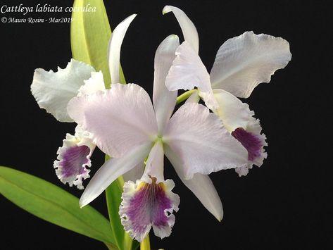Cattleya Labiata Coerulea Cattleya