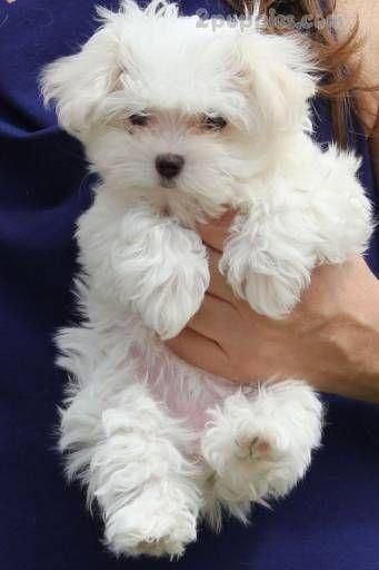 Maltese Maltese Puppy Cute Puppies Cute Dogs