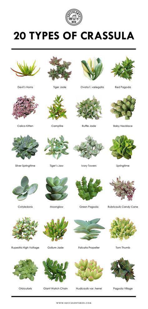 20 Popular Types Of Crassula