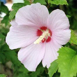 Hibiscus Syriacus Hibiscus Disenos De Jardines Flores Jardines