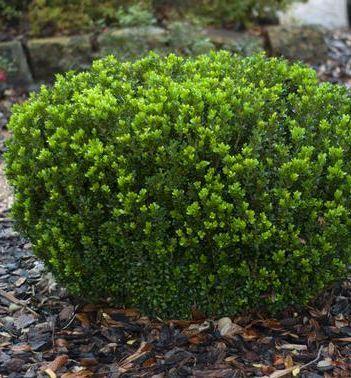 Baby Jade Boxwood A Petite Hardy Boxwood With Super Fine Evergreen Foliage This Easy Care Shrub Makes A G Straucher Pflanzen Immergrune Straucher Pflanzen