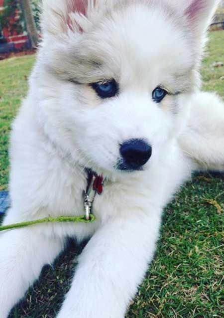 21 Pictures Of Husky Baby Puppies And 10 Siberian Husky Facts