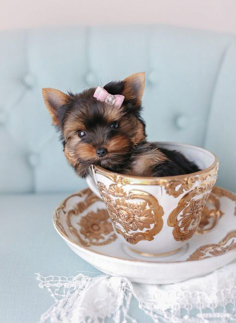 Toy Teacup Puppies For Sale  | Teacup Puppies & Boutique