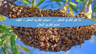 المهندس الزراعي ما هو تطريد النحل اسباب تطريد النحل كيف نم Black Peppercorn Bee Peppercorn