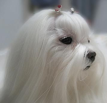 Breeds Of Small Dogs Best Small Dog Breeds Maltese Dog Breed