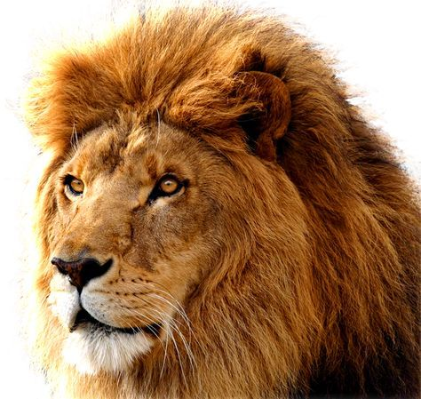 Lion Png Image Free Image Download Picture Lions Lion Images Lion Head Tattoos Lion