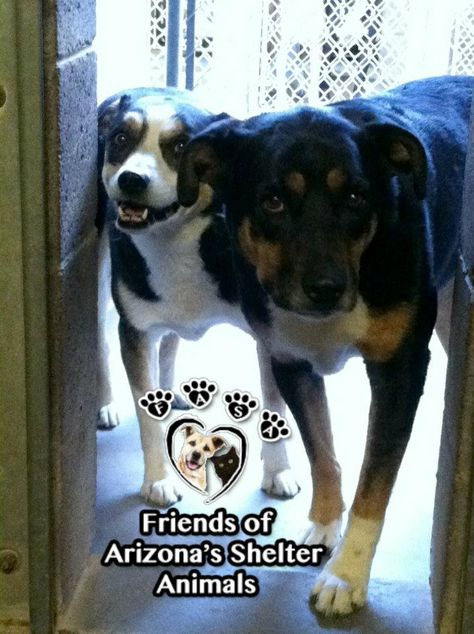 E118 A3144624 Adoptable 4 Yr 0 00 Mo Spayed Tricolor Aust Shep Mix Stray Behavior Fear E118 A3144625 Adopt With Images Rottweiler Mix Losing A Pet Animal Shelter