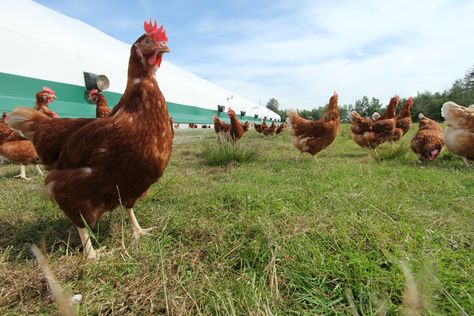 Rabbit River Farms Is A Cage Free Egg Farm Owned By Steve And Lynn Easterbrook Cage Free Eggs Farm Eggs Farm Animals