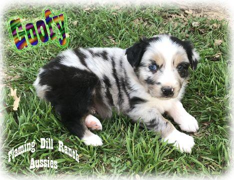 Miniature Australian Shepherd Puppy For Sale In Forestburg Tx A