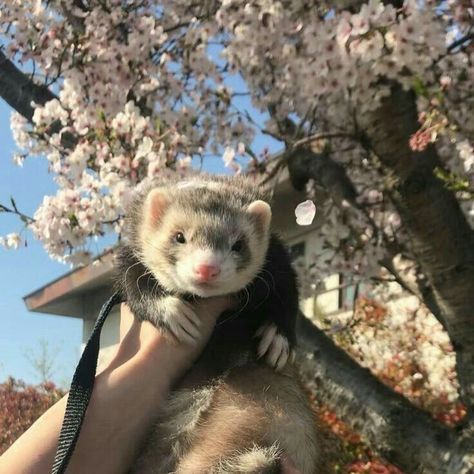 aesthetic 21 Fantastic Ferret Outdoor Pictures – Animal Wallpaper And iphone Pretty Animals, Cute Little Animals, Animals Beautiful, Fluffy Animals, Animals And Pets, Pink Animals, Cavalier King Charles Spaniel, Pet Ferret, Cute Ferrets