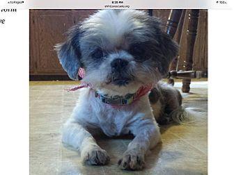 Lexington Ky Shih Tzu Meet Paisley A Dog For Adoption Dog Adoption Shih Tzu Pets