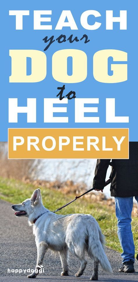 Is Your Dog Walking You Teach Your Dog To Heel Properly Dogs