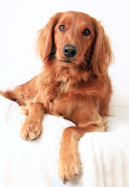 If You Re In Search Of A Wonderful Family Dog The Golden Irish Is A Good Choice Irish Dog Irish Dog Breeds Unique Dog Breeds