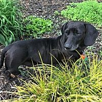 Available Pets At All American Dachshund Rescue In Columbia