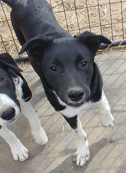 Border Collie Dog For Adoption In Bend Oregon Bolton In Bend