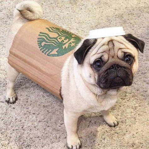 Aww Haha Pug Dog Costume Starbucks Cute Dog Costumes Cute