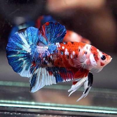 Huge Live Betta Fish Fancy Red Koi Monster Halfmoon Plakat Hmpk Male 268 Betta Betta Fish Tropical Fish Aquarium