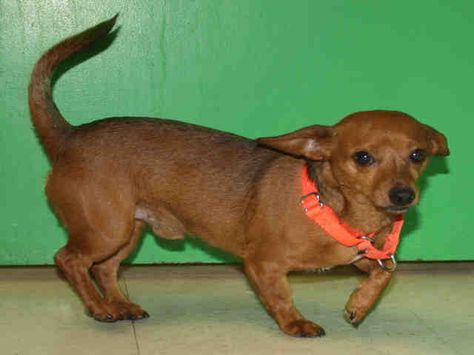 Ohio Copper Id A058769 Is A Neutered 2yo Chiweenie Doxie