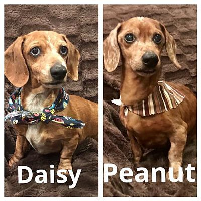 Texarkana Tx Dachshund Meet Peanut And Daisy Bonded Pair In