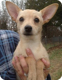 Albany Ny Chihuahua Mix Meet Meenie A Dog For Adoption With Images Kitten Adoption Pets Dog Adoption