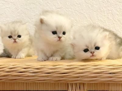 Beautiful Chinchilla Silver Persian Baby S Avail Adorable Personalities With Excellent Health Guarantee Cfa Registration Breeder Persian Kittens Chinchilla
