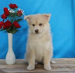Dezmond Pomsky Puppy For Sale In Narvon Pa Lancaster Puppies In 2020 Pomsky Puppies Puppies For Sale Pomsky Puppies For Sale