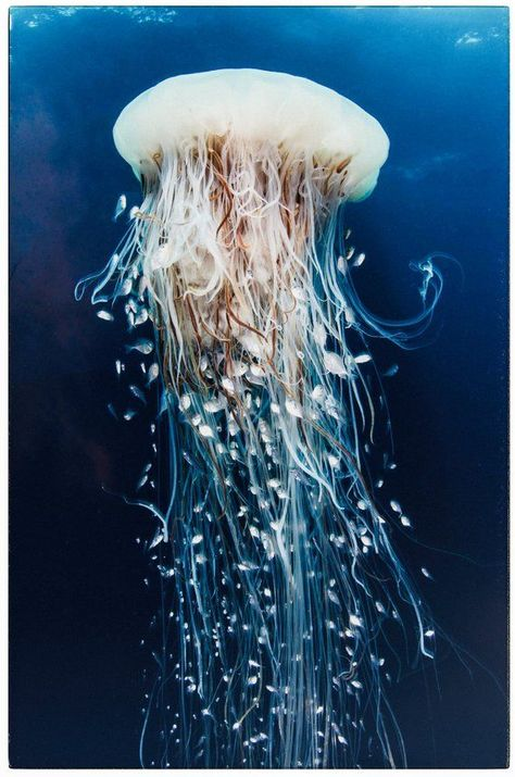 Color Photography – Fine art print – blue jellyfish with long tails underwater. Color Photography – Fine art print – blue jellyfish with long tails underwater.
