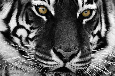 Black and White Tiger Eyes | Share More Tiger Eyes Black And White
