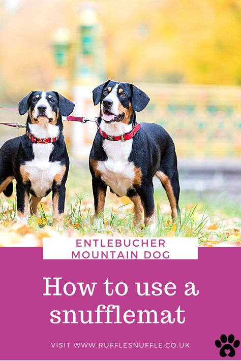 Snufflemats provide excellent enrichment for your Entlebucher Mountain Dog. So ditch the bowl and see how you can use one in your daily routine.
