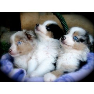 Miniature Australian Shepherd puppies and dogs for sale and ...