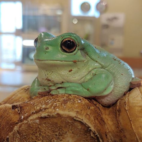 Dumpy Tree Frog, Frog Habitat, Whites Tree Frog, Pet Frogs, Popular Tree, Frog And Toad, Frog Frog, Green Tree Frog, Frog Pictures