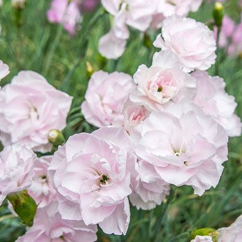 Pink Inchmery Heirlooms Flowers Pink Dianthus Flowers